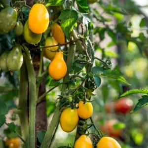 Fotografie alimentara, tomate cherry galbene